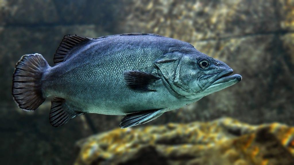 ブラックバスとはどのような魚なのかイメージ画像