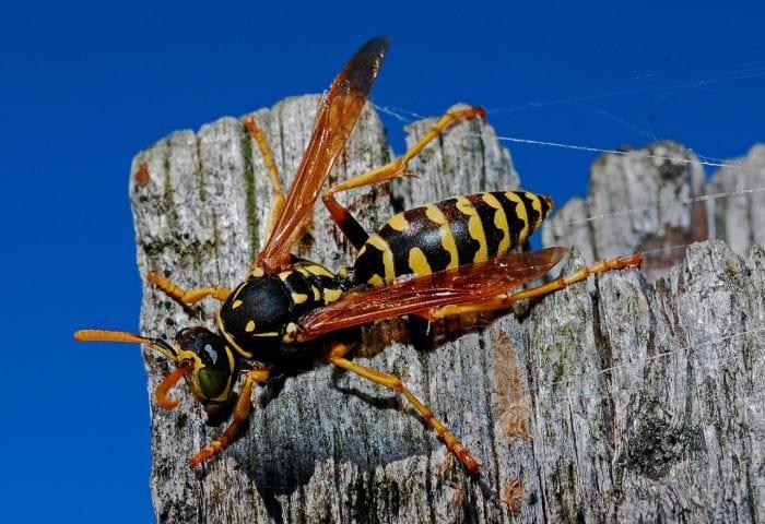 アシナガバチのイメージ画像