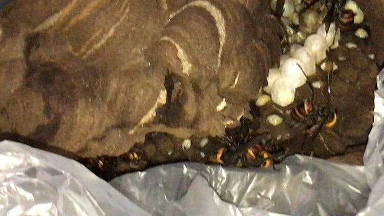 駆除してもらったスズメバチの巣の画像①