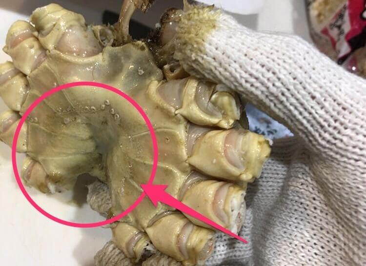 冷凍ズワイガニの胴体?甲羅の裏側にある「ふんどし(前かけ)」を取った後の冷凍ズワイガニのイメージ画像